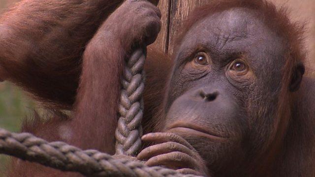 It's peanuts to an orangutan