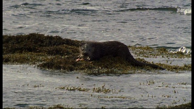 Mull's otters