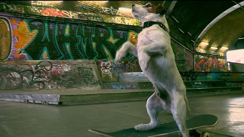 Uggie, a small dog standing up while on a skateboard.