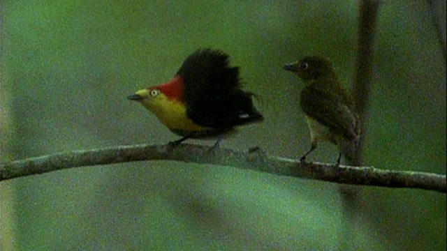 Manakin mating dance