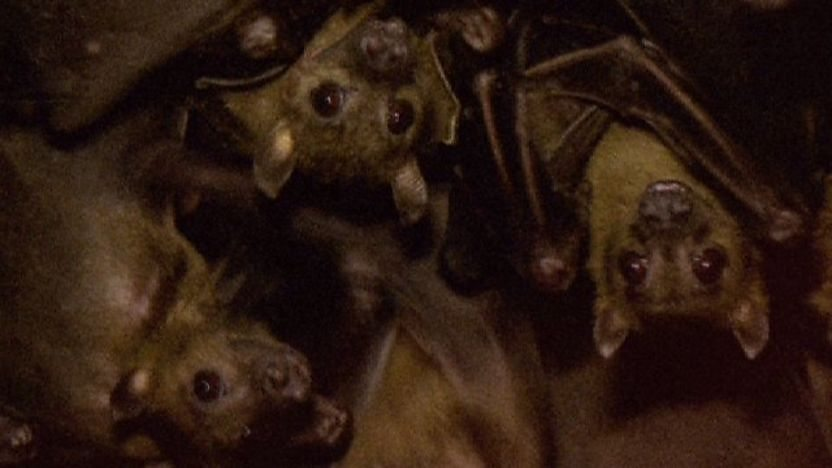Fruit bats in a cave
