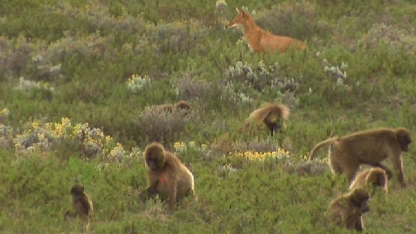 Ethiopian wolf amongst baboons