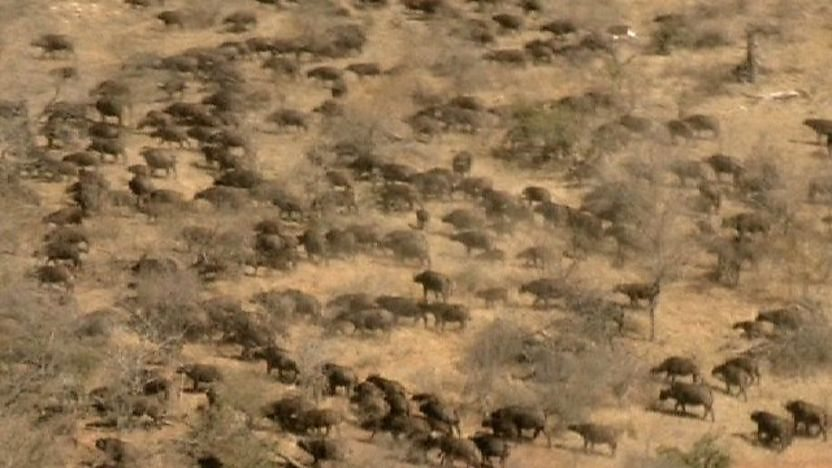 Massive herd of cape buffalo