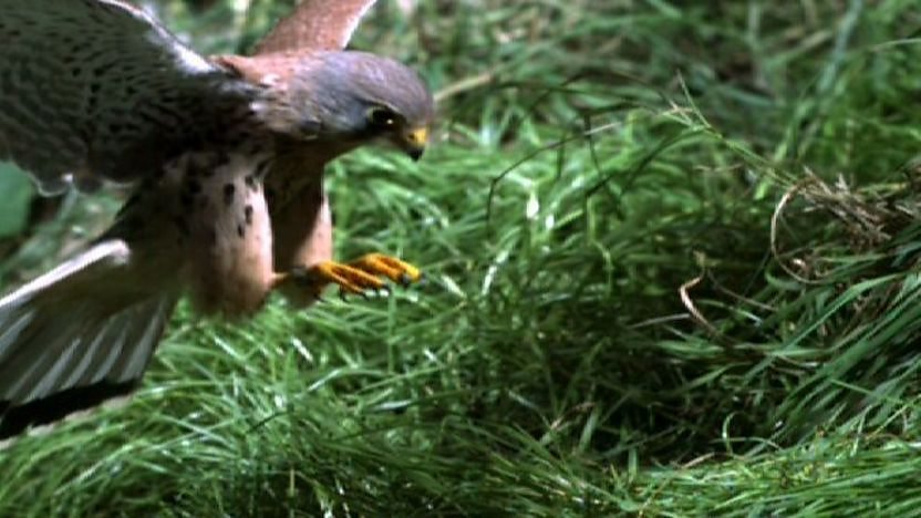 A kestrel swooping