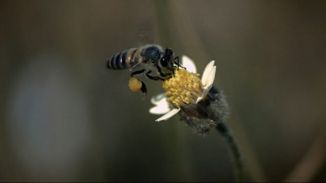 Foraging honeybees