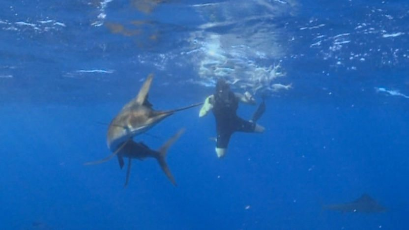 Steve dives with sailfish