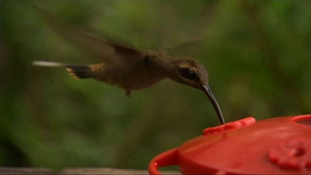 Spectacular hummingbirds