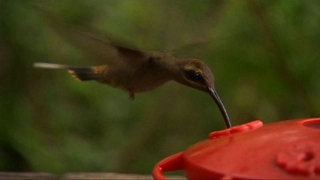 Spectacular hummingbirds