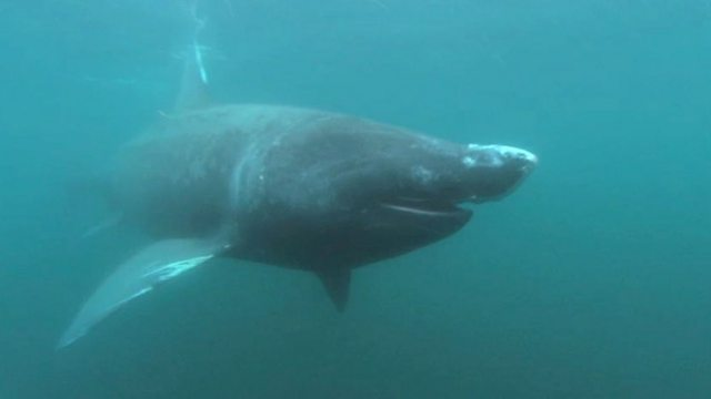Basking shark encounters in Scotland