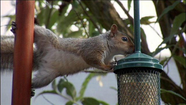 Squirrels on bird feeders
