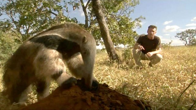 The giant anteater and the termites