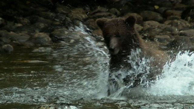 The grizzly bear and the salmon