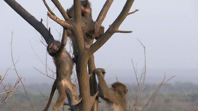 Cute baby baboons playing