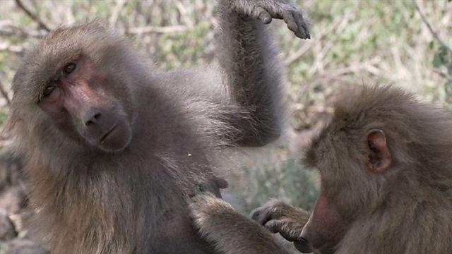 Baboons groom a man