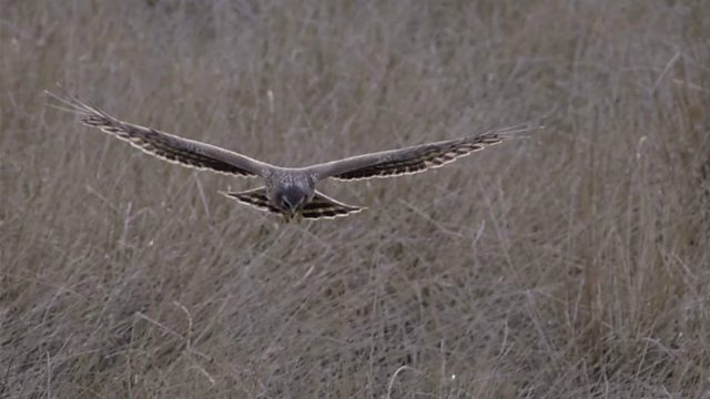 Hen harriers in the wild