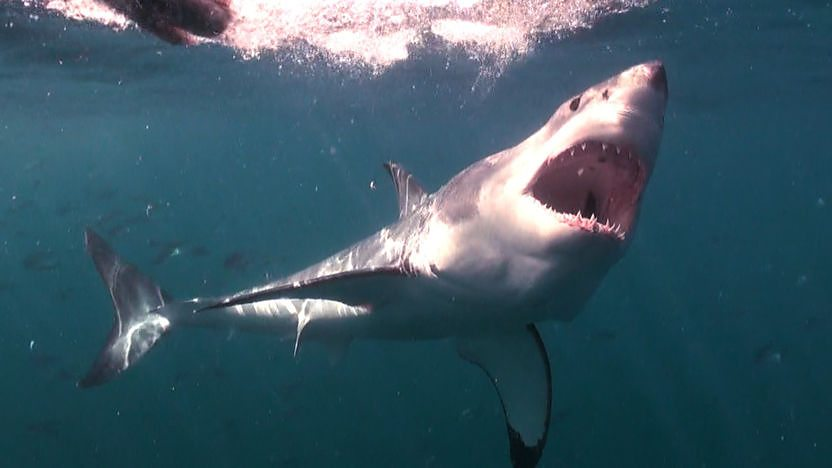 Great white shark breach attack!