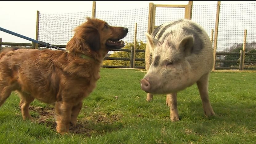 Barney the dog along side a farmyard pig