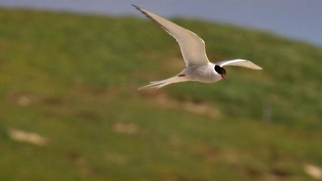 The Arctic tern
