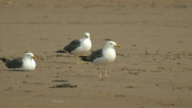 Sea gull ID