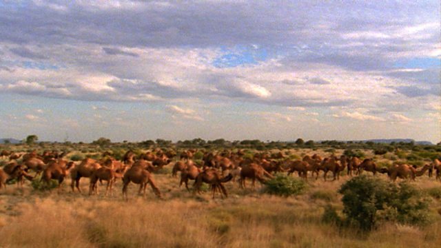 Australia's camels