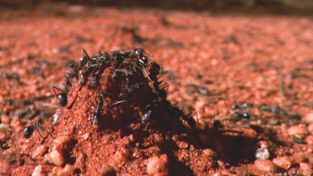 Desert ants
