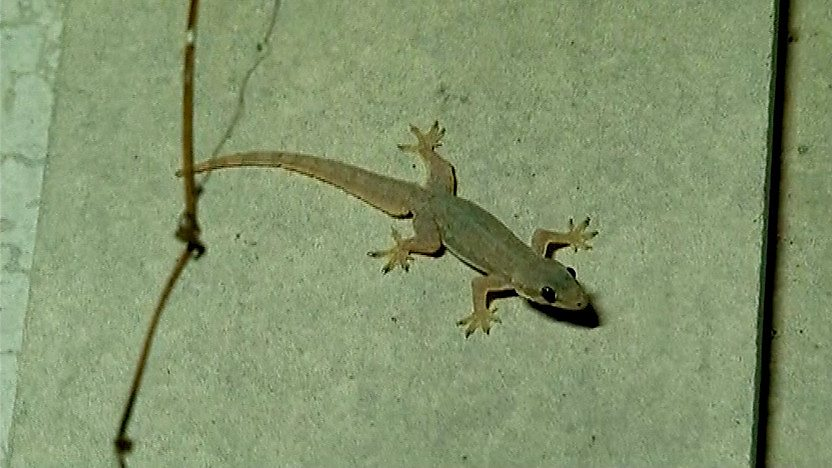 A lizard on the wall of a home.