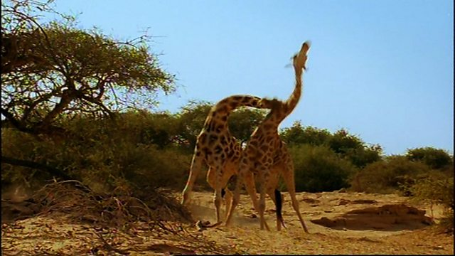 Incredible giraffe knockout
