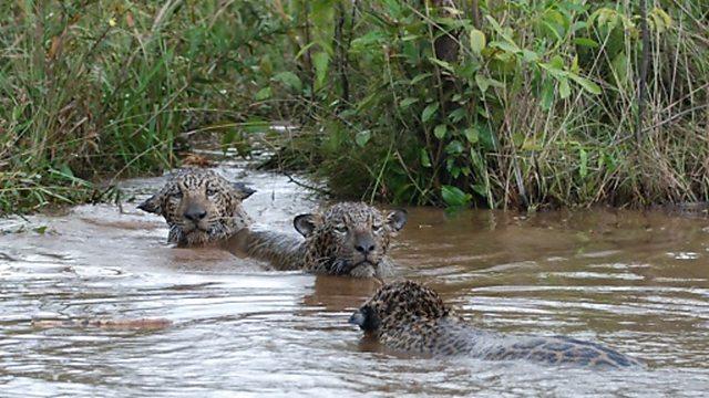 Jaguar cubs swimming