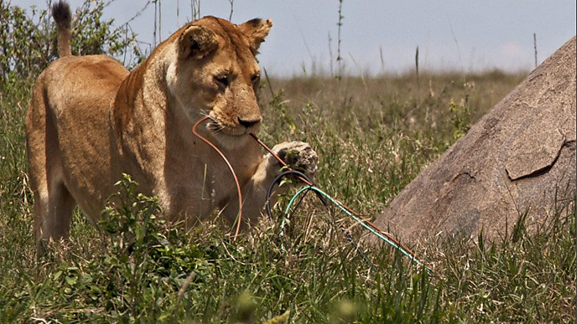 A lion chewing on some cables.