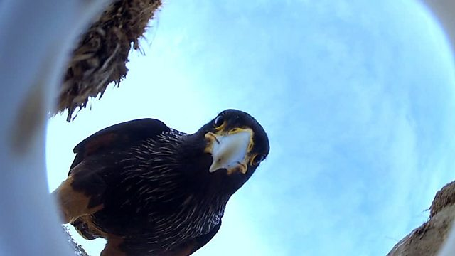 A Caracara flies off with an eggcam
