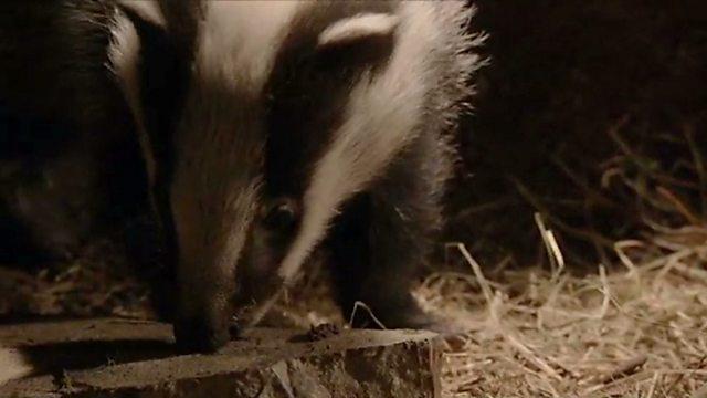 Anatomy of a badger sett