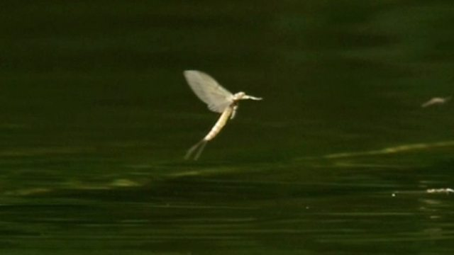 Mayflies on the Bourne River