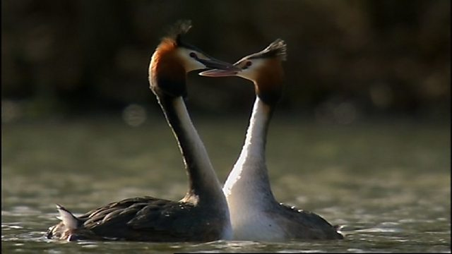 Gifted grebes