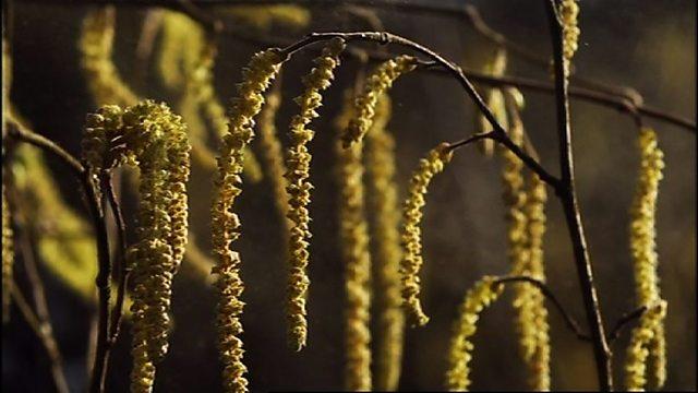 Catkin pollination