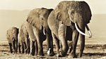 Natural World: 2010-2011: Echo - An Unforgettable Elephant