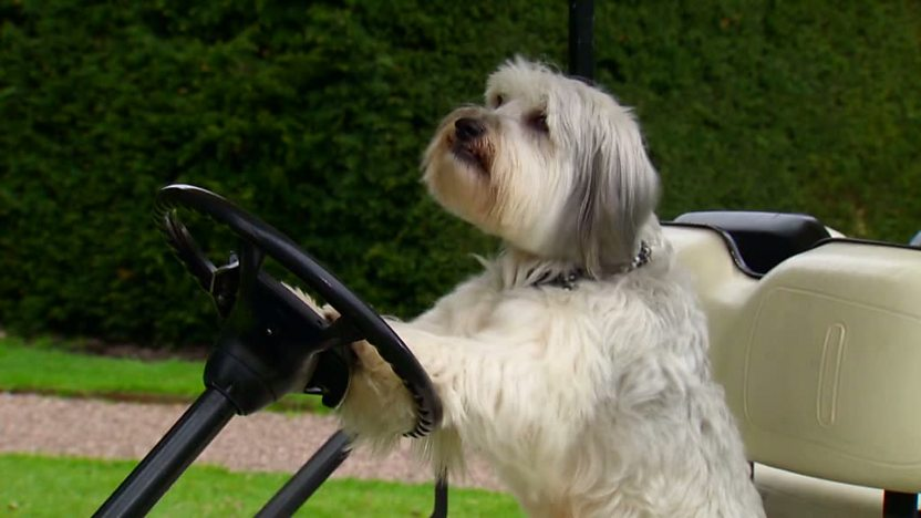 Pudsey from 'Britain's Got Talent' sitting at the wheel of a golf buggy.