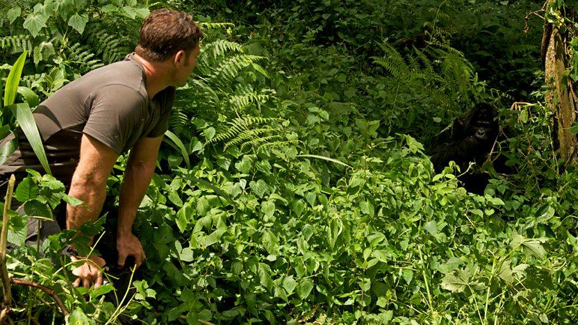 Steve Backshall looking at a gorilla