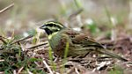Tweet of the Day: Cirl Bunting