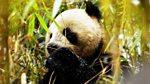 Wild China: Land of the Panda