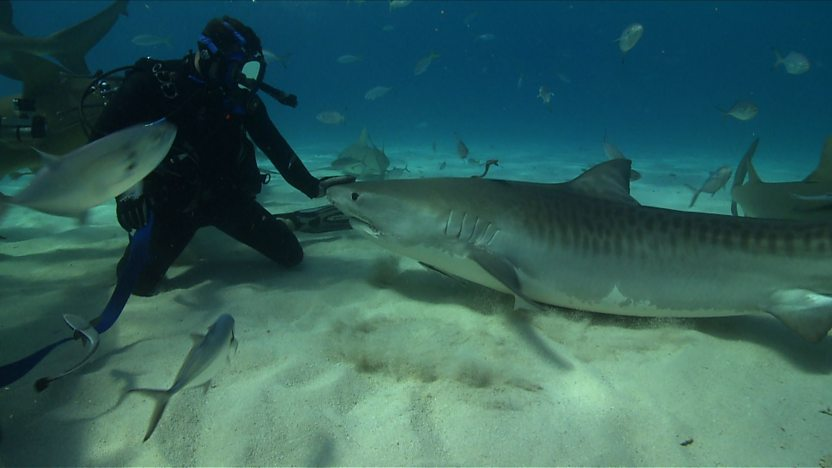 Steve swimming with Tiger Sharks