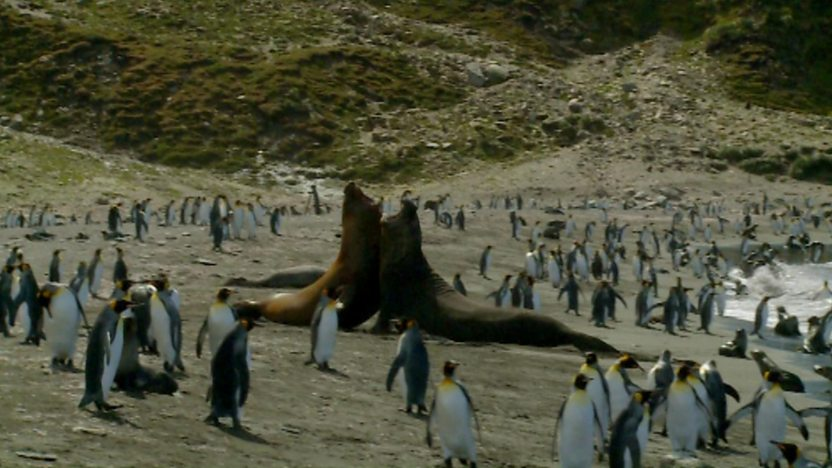 Two elephant seals fighting on a beach surrounded by penguins.