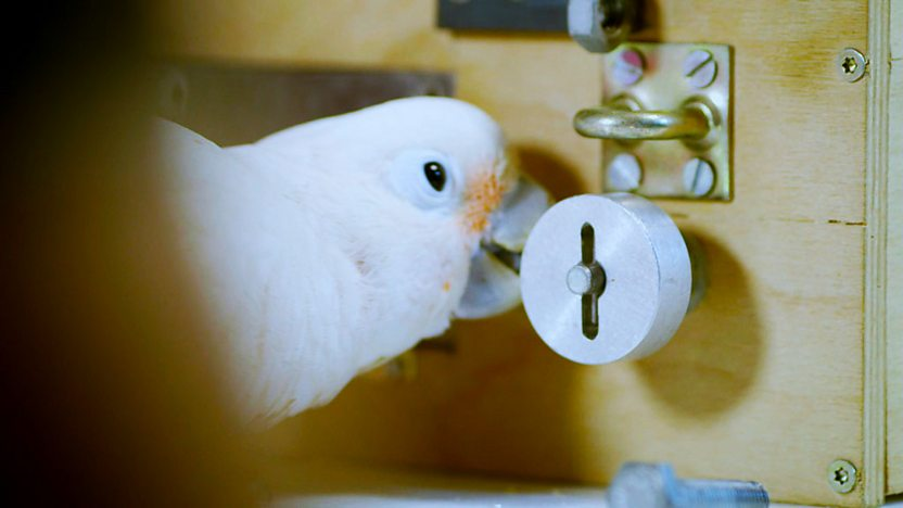A cockatoo unfastening a bolt.