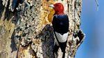 Tweet of the Day: Red-Headed Woodpecker