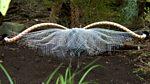 Tweet of the Day: Superb Lyrebird