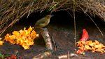 Tweet of the Day: Vogelkop Bowerbird