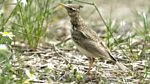 Tweet of the Day: Crested Lark