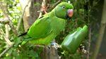 Tweet of the Day: Echo Parakeet