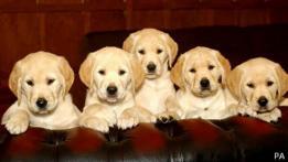 Perros raza labrador retriever