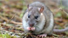Los científicos pretenden erradicar la población ratas de esa isla, a donde los roedores llegaron hace 200 años en los barcos de los cazadores de focas y balleneros.