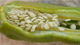 semillas de aji